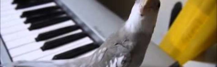 Video: dueto pequeño loro y pianista